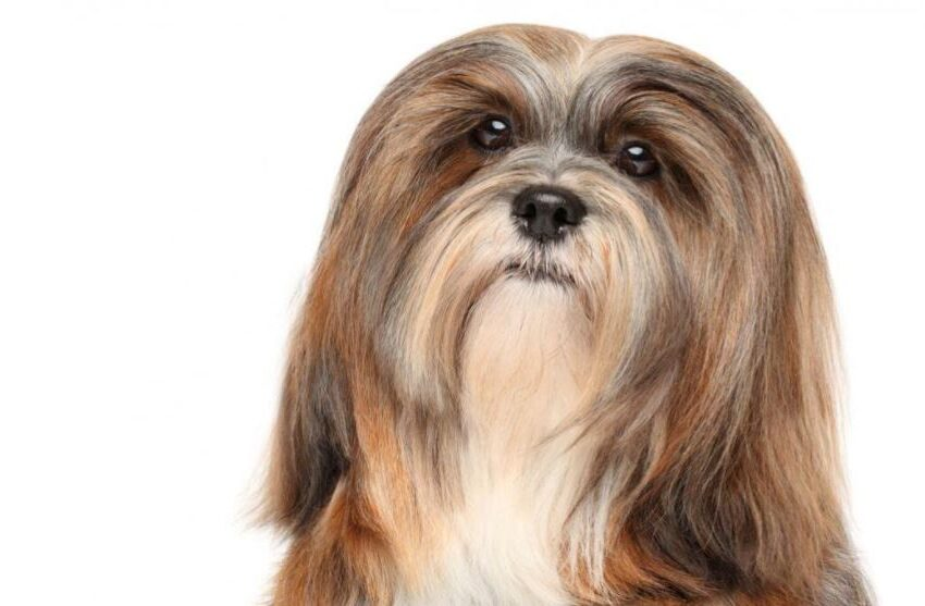 What You Should Know About the Lhasa Apso Dog